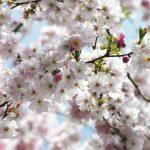 φωτοταπετσαρια τοιχου ανθη κερασιας 8-507