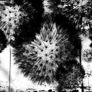 Φωτοταπετσαρια ασπρομαυρες πικραλιδες 2189