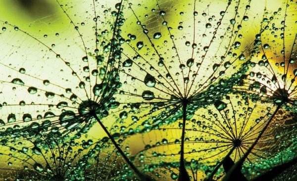 φωτοταπετσαρια τοιχου πικραλιδες 1009