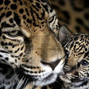 φωτοταπετσαρια τοιχου τιγρεις 1-0909