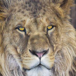 φωτοταπετσαρια τοιχου λιονταρι 1-619