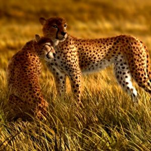 φωτοταπετσαρια τοιχου λεοπαρδαλεις 4-0105