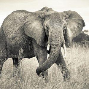 φωτοταπετσαρια τοιχου ελεφαντας 4-529