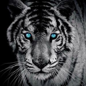 φωτοταπετσαρια τοιχου τιγρης 153WM