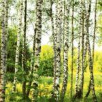 φωτοταπετσαρια τοιχου δασος MS0094